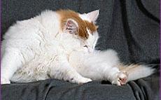 cat-grooming-1